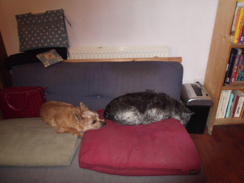 Cairn pups 008
